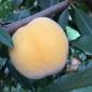 山东蒙阴黄桃 清晨采摘果园直发 酸甜爽口时令孕妇水果桃子现摘